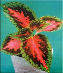 Колеус Ренельта (Coleus rehneltianus)