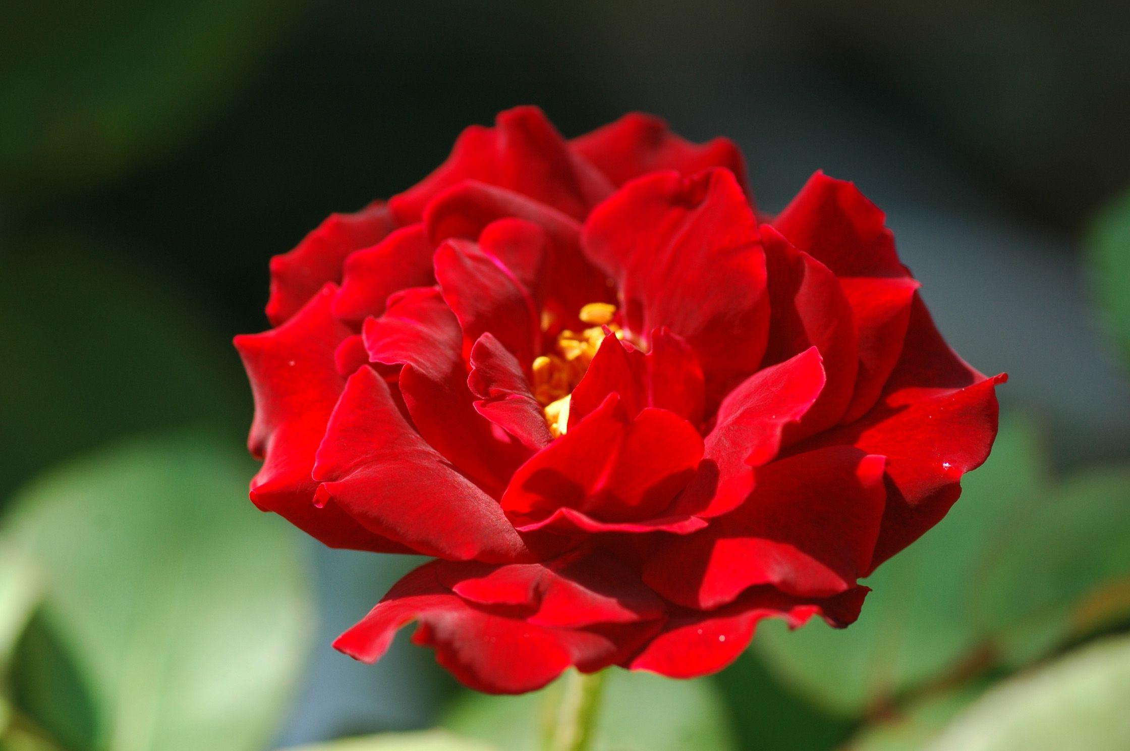 Фото цветка красного цвета