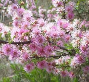 Цветочный гороскоп мимоза (20 февраля - 28 февраля)