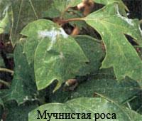 болезни цветов Мучнистая роса