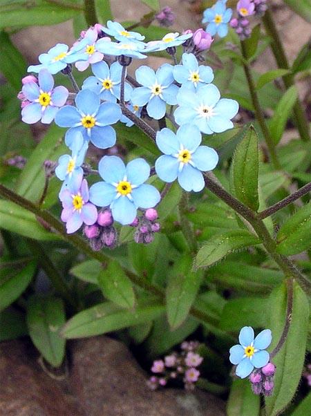 Незабудка альпийская садовая — Myosótis х hybrida hort