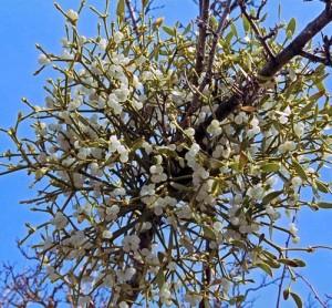 цветочный гороскоп Омела (1 февраля - 10 февраля)