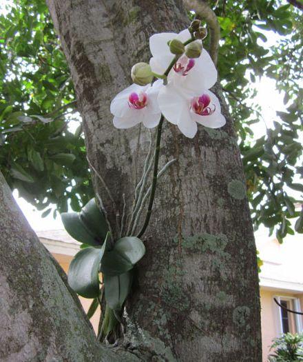 Орхидея (Orchidaceae) фото цветка