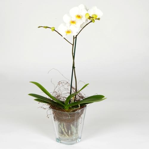фото цветы орхидея, уход за орхидеей