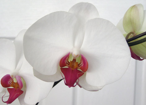 уход за орхидеей, фото орхидея