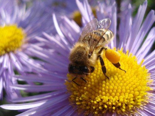 лечение цветочной пыльцой