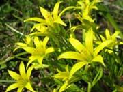 Гусиный лук, или подснежник желтый