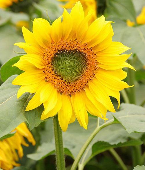 цветочный гороскоп Подсолнух (3 августа - 12 августа)