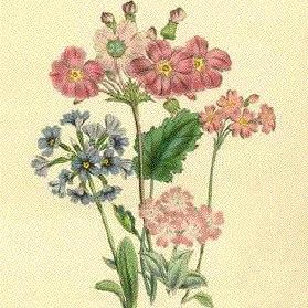 Примула блестящая Primula praenitens