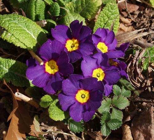 Примула бесстебельная, или обыкновенная Primula acaulis, vulgaris