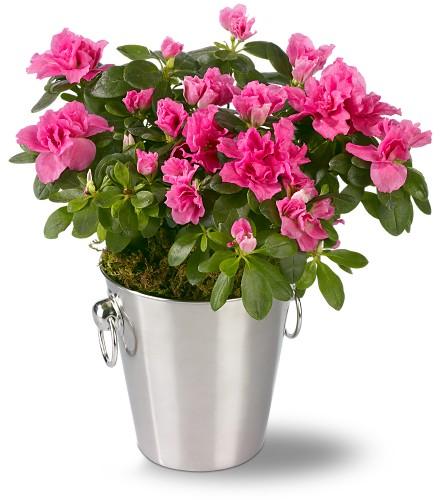 Рододендрон Симса (Rhododendron simsii Planch.)