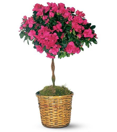 Рододендрон индийский (Rhododendron indicum (L.) Sweet). азалия индийская