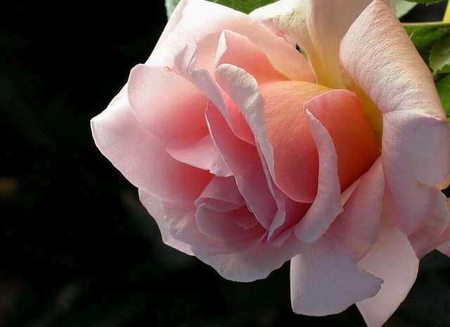 роза Ofelia Офелия фото, разновидности роз, уход за розой