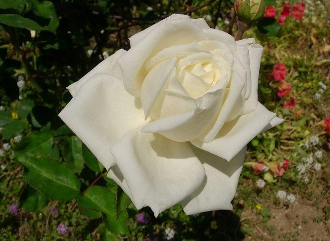 фото роза Auguste Viktoria Августа Виктория фото, разновидности роз, уход за розой