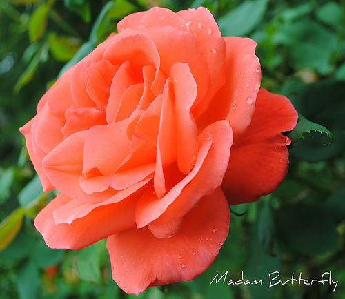роза Батерфляй фото, разновидности роз, уход за розой