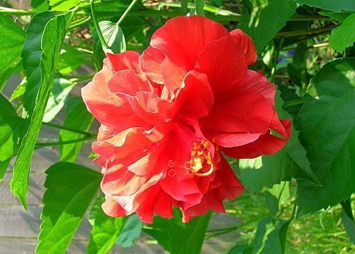 Китайская роза фото, разновидности роз. уход за розой