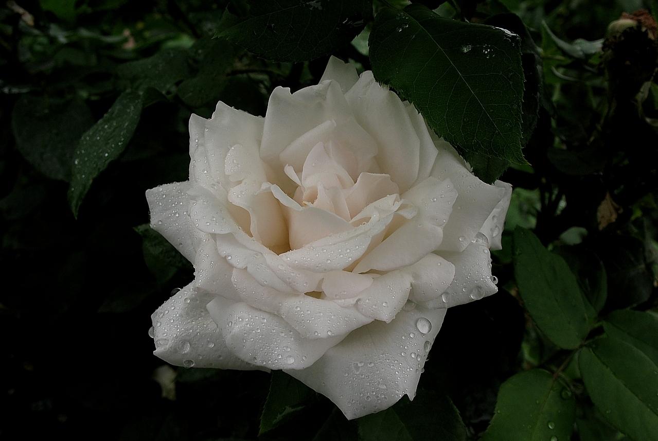 роза Карл Дружки фото, разновидности роз, уход за розой