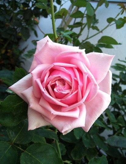 роза Ла Франс La France фото