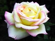 Роза садовая фото