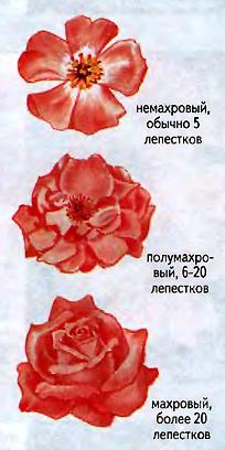 роза уход и размножение, комнатная роза уход