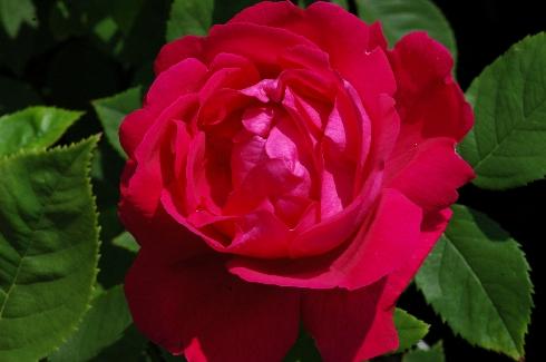 роза Ульрих Бруннер фото, разновидности роз, уход за розой