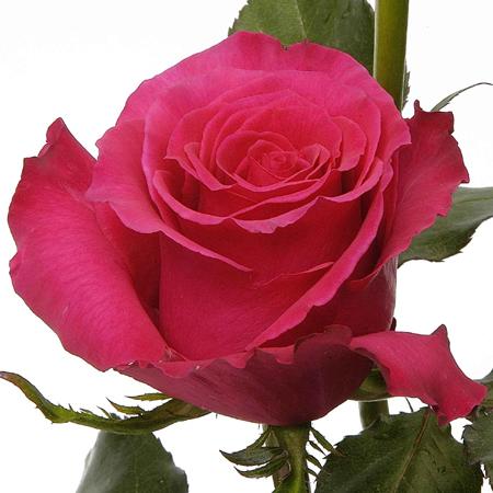 уход за цветами, фото цветок роза