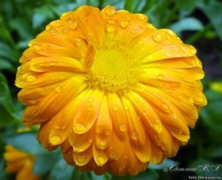 рецепт из цветов календулы
