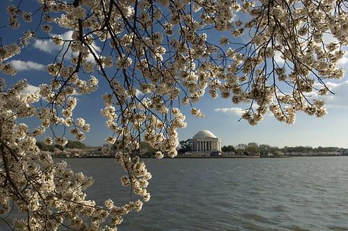 цветок сакуры (sakura)