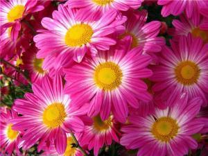 хризантемы, виды хризантем, уход и содержание
