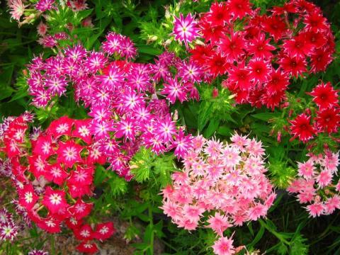 Гвоздика (Dianthus)