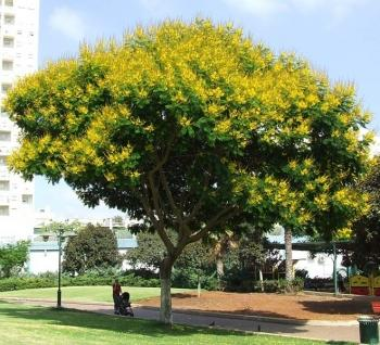 Акация желтая (caragana arborescens, карагана древовидная)