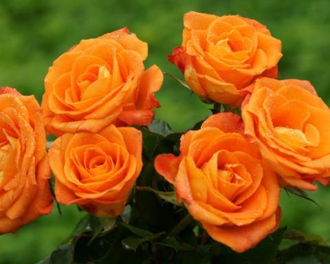 Розы обои для рабочего стола