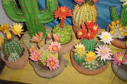Кактусы цветущие