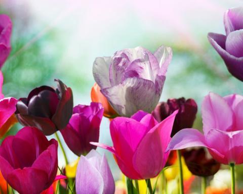 Тюльпаны обои