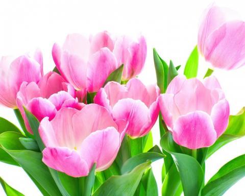 Тюльпаны обои на рабочий стол