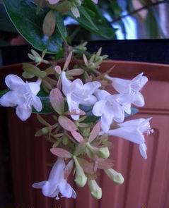 Фото цветок Абелия (abelia)