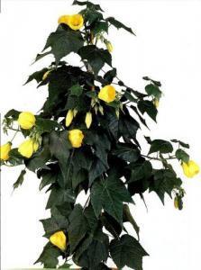 Фото цветок Абутилон желтый (abutilon, комнатный клен, канатник)