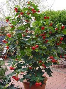 Фото цветок Абутилон красный (abutilon, комнатный клен, канатник)