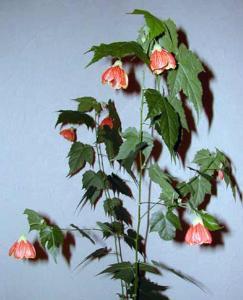 Фото цветок Абутилон (abutilon, комнатный клен, канатник)