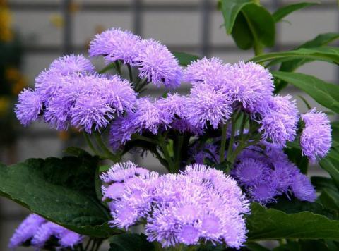 Фото цветок Агератум (Ageratum) фиолетовый