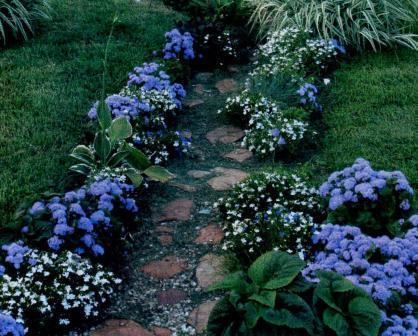 Фото цветок Агератум (Ageratum) голубой