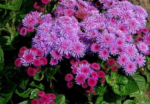 Фото цветок Агератум (Ageratum) сиреневый