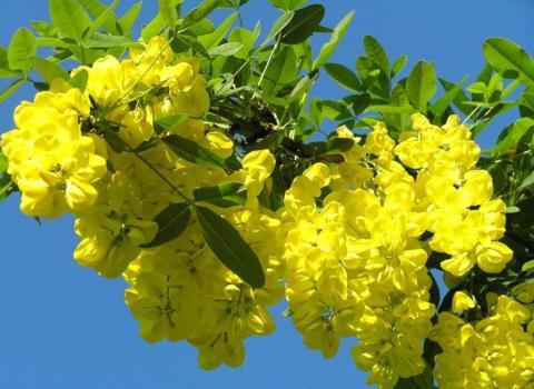Фото Акация желтая (caragana arborescens, карагана древовидная)