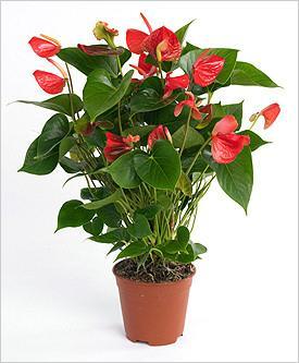 Фото цветок Антуриум (Anthurium)