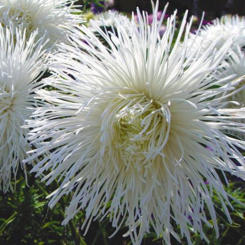 Фото цветок Астра (Aster)