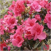 Азалия, Рододендрон (Azalea, Rhododendron)