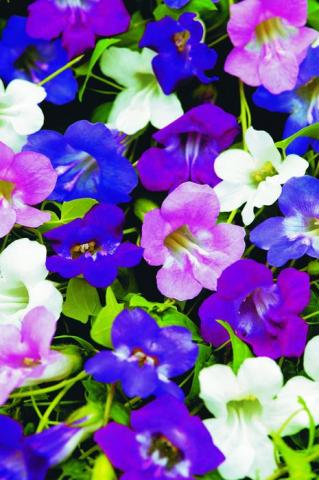 Фото цветок Азарина (Asarina)