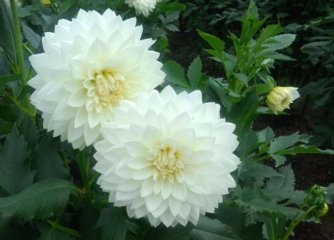 Белые георгины фото