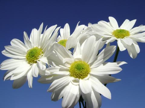 белые цветы ромашки