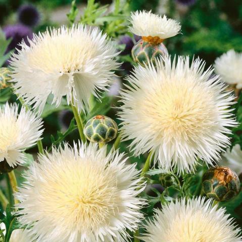 Белые цветы Василек фото